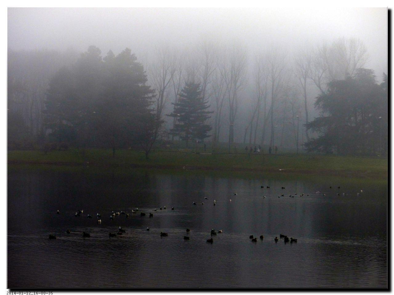 Canards dans la brume