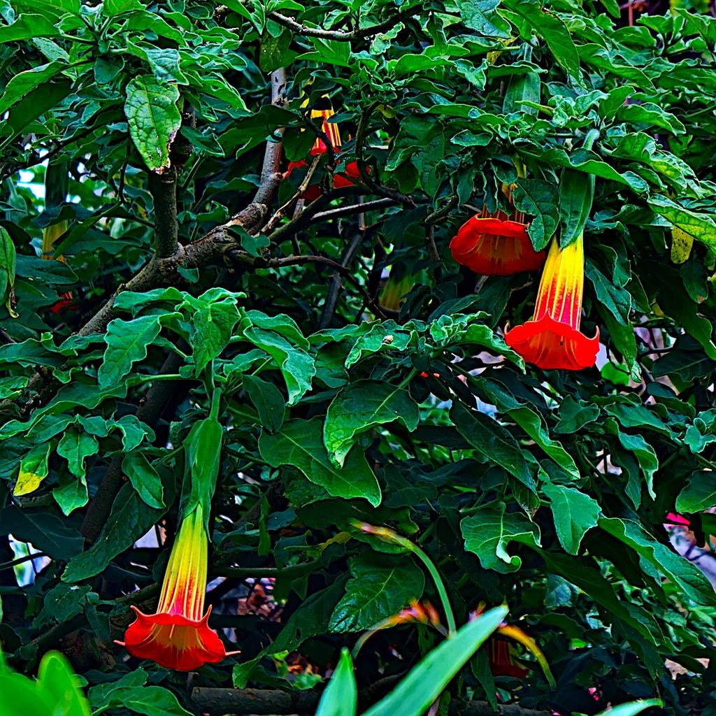 Fleur bréhatine